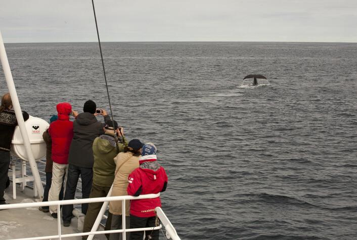 I tillegg til denne følelsesmessige opplevelsen det er å møte denne havets gigant, er det meningsfullt for turistene å lære om hvilken type hval de ser, og hvordan den lever i havet. (Foto: Hvalsafari AS)