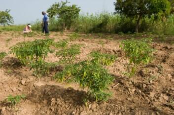 Dyrking av chillipepper i Malanville, Benin. (Foto: Arnstein Staverløkk)
