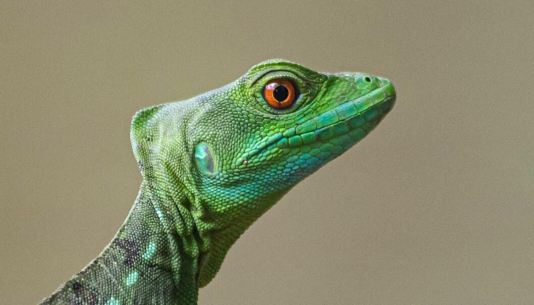 Grønn basilica, en mellomstor øgle som lever i lavereliggende regnskog i Costa Rica.