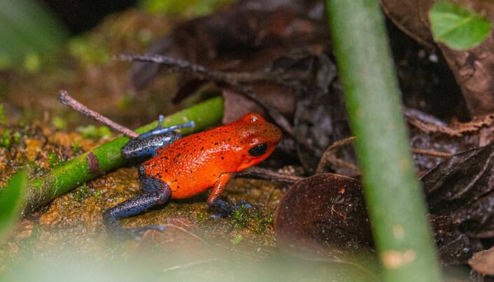 Jordbærpilgiftfrosk er vanlig i regnskogen mot den karibiske kysten.