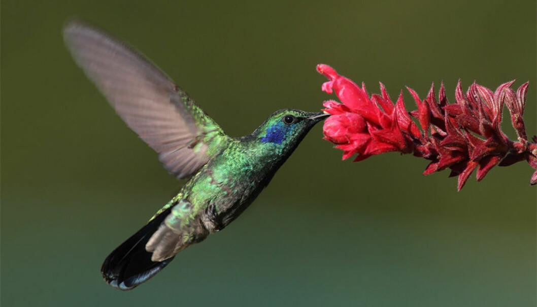 Kolibrier kan fly nesten uten oksygen