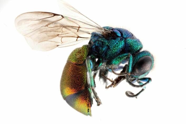 Gullvepsen, eller Pseudospinolia neglecta. (Foto: Jacopo Werther/Wikimedia commens)