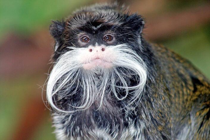 Forskerne fant at aper som levde lenger fra ekvator hadde lengre ansiktsghår. Keisertamarin, med sin flagrende bart, lever i Sør-Amerika. Kilde: Store norske leksikon (Foto: Wikimedia Commons)
