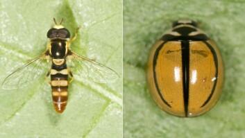 Blomsterflua (Ischiodon aegyptius) og marihøna (Cheilomenes propinqua) er to av bladlusenes viktigste naturlige fiender i Benin. (Foto: Arnstein Staverløkk)