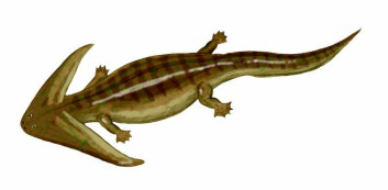 Diplocaulus sitt hode kan ha gjort dyret til en bedre svømmer, og det kan ha vært supersexy for Diplocauluser av det andre kjønn. Begge deler kan være forklaring på utviklingen av hodeformen. (Foto: (Illustrasjon: Nobu Tamura))