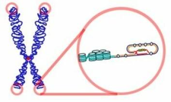 Telomerene detaljert tegnet. (Foto: (Illustrasjon: Wikimedia Commons))