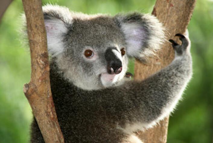 Koalahannens stemme har virkelig en X-faktor. Det er kanskje nødvendig for å tiltrekke hunner når man, som koalaer, er mest kjente for å være søvnige og bruke sine få våkne timer på å knaske eukalyptusblader i australske tretopper. (Foto: Colourbox.com)