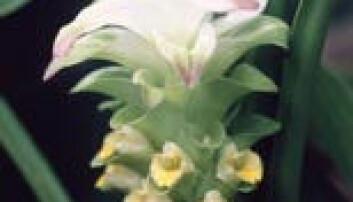 """Blomsten på gurkemeieplanten Curcuma longa."""