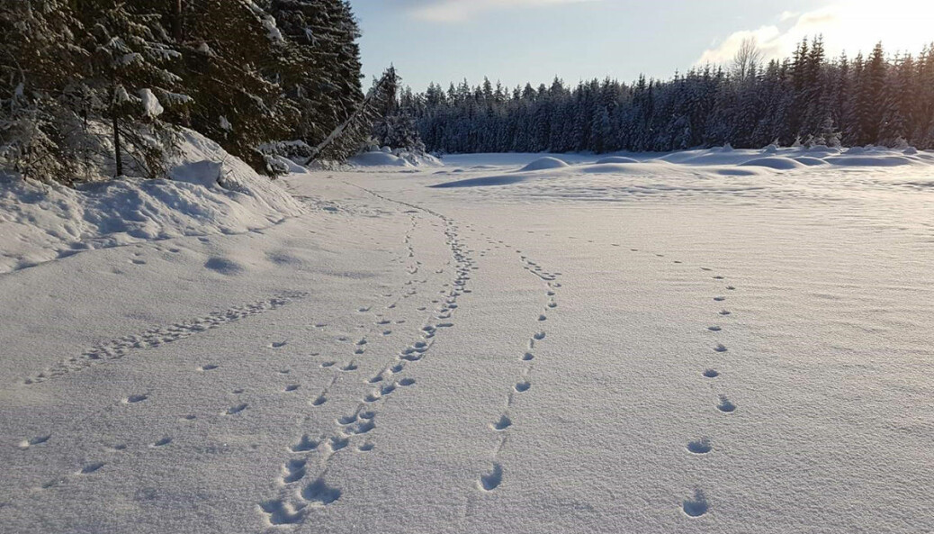 Sju ulver vandret på elveisen på Varåa i Trysil kommune i starten av februar.