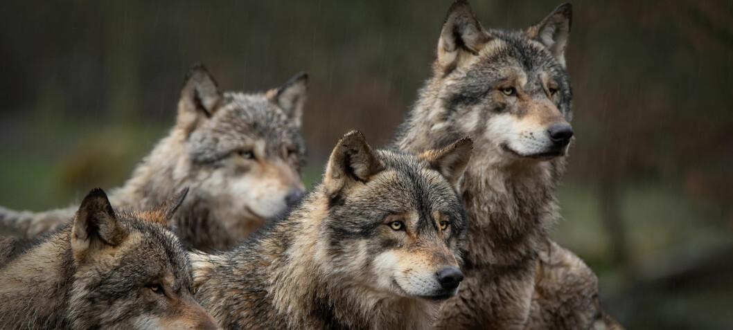 Forskere har påvist 94–98 ulver så langt i vinter