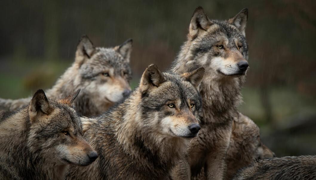 – De aller fleste ulvene er registrert i Sørøst-Norge i fylkene med ulvesone, det vil si Innlandet og Viken, sier Jonas Kindberg i Rovdata.
