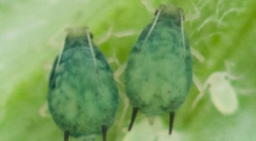 Den store bladlusjakten