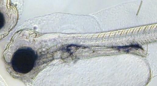 Fordøyd fett dreper torskelarver