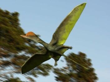 Flygeøglen Darwinopterus modularis er en av de få utdøde artene vi har funnet så mange eksemplarer av at vi kan være sikker på at den ble utsatt for seksuell seleksjon. Dette er en hann-Dawinopterus, med den karakteristiske hodepryden. (Foto: (Illustrasjon: Nobu Tamura))