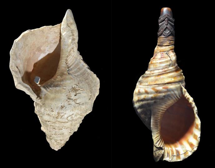 Til venstre ser du konkylien fra hulen. Til høyre er et konkylie-horn med munnstykke av bein. Kanskje hadde det eldgamle instrumentet også er slikt munnstykke som gjorde det lettere og mer behagelig å spille?