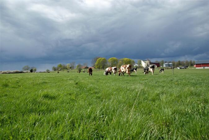 Beite gir like god avkastning. Det er ikke noen automatikk i at melkeproduksjonen blir dårligere om kyrne slippes på beite.