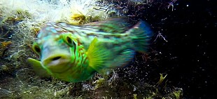 – Massesex er den mest vanlige måten å reprodusere seg på i havet