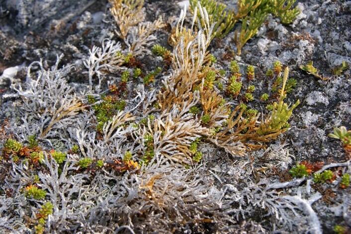 Denne kråkefotplanten (Fjelljamne) døde av frosttørke etter varmeperiode på vinteren på Kvaløya 2012. (Foto: Jarle W. Bjerke)