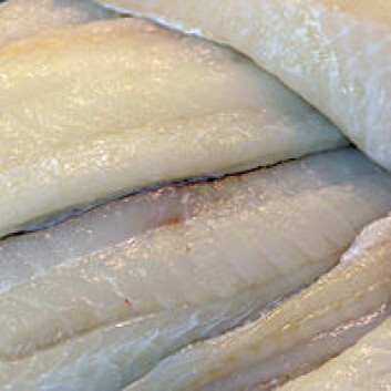 Mye lys i tidlig stadium gir torsken tynnere, men flere muskelfibre og dermed potensial til å vokse seg større. (Foto: Shutterstock)