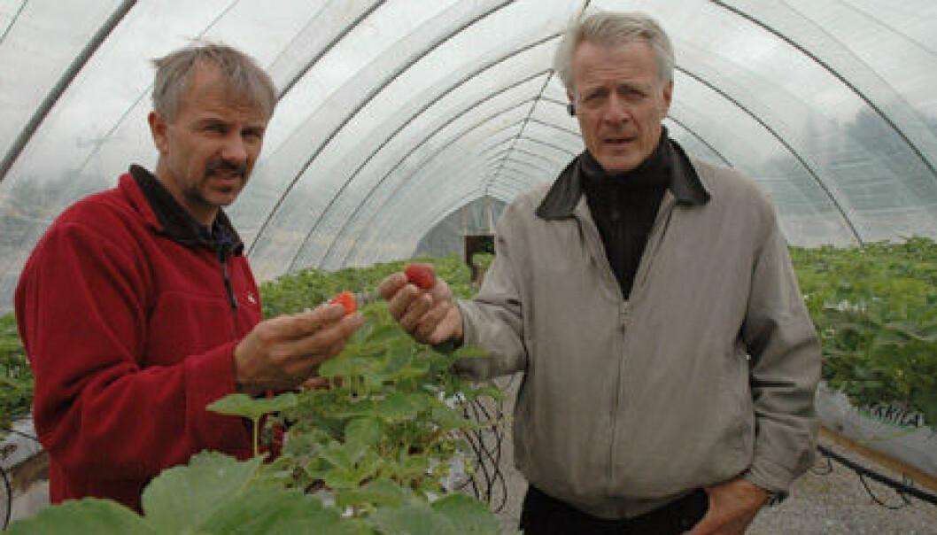 """""""Jordbær i plasttunnel dyrker Morten Gustad og forsker Rolf Nestby"""""""