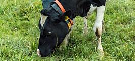 Kyr på beite gir like mye melk
