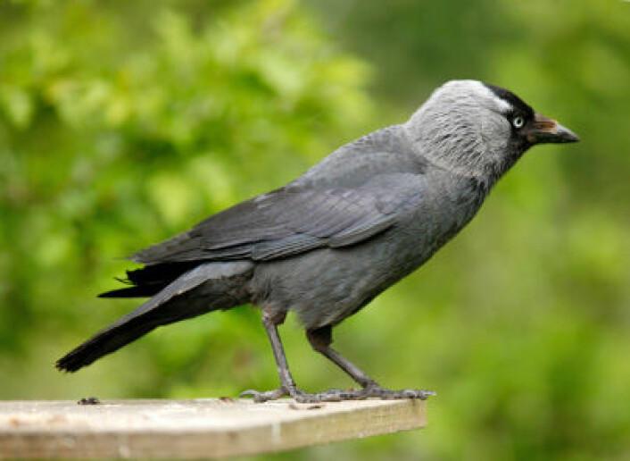 Kaie (bildet) og falk er ikke som hauk og due. De to artene kan tvert imot samarbeide om å passe hverandres reir i blandede kolonier. (Foto: iStockphoto)