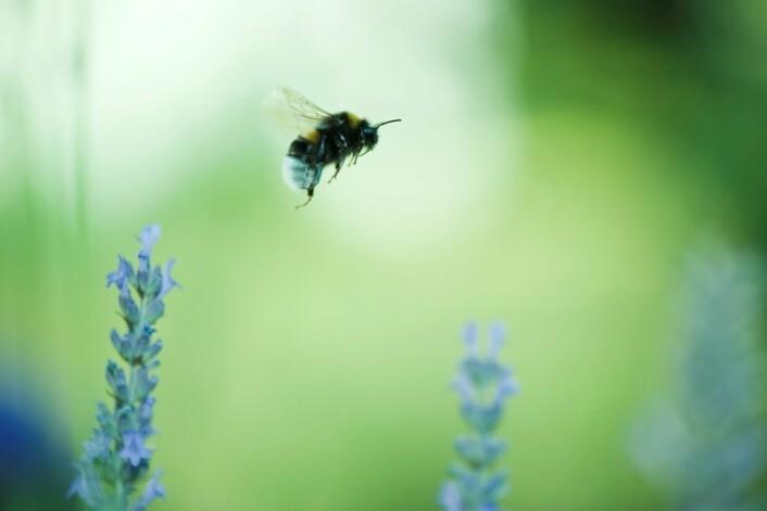 En bie på målrettet jakt med luktesansen som hjelpemiddel. (Foto: Colourbox)