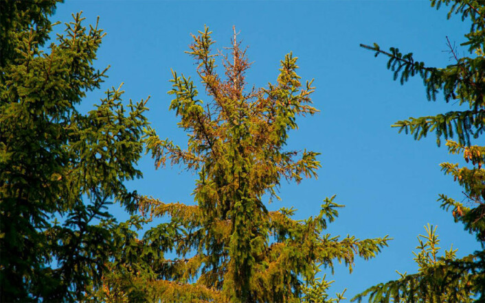 De syke trærne står spredt, og har tørre, visne topper. (Foto: Isabella Børja)