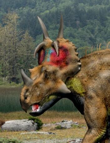 De forskjellige ceratopsia-dinosaurene, her representert ved Spinops sternbergorum, utviklet seg voldsomt fra barneårene til voksen alder. Horn og plater og pynt ble større og mer prangende etter hvert som dyra ble kjønnsmodne. (Foto: (Illustrasjon: Nobu Tamura))