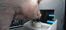 Amerikanske griser fikk prøve dataspill. Eksperimentet skal bidra til bedre dyrevelferd