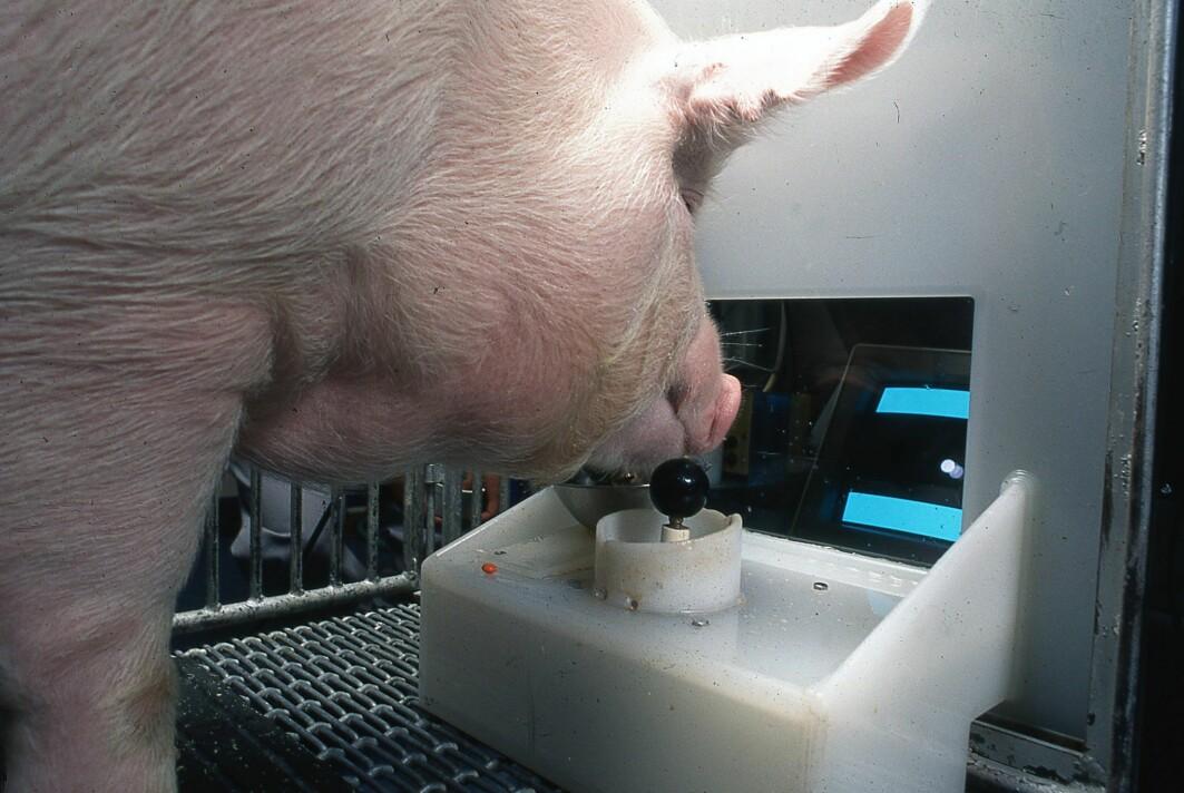 Dette er antakeligvis det første bildet du ser av en dataspillende gris - eller skal vi si