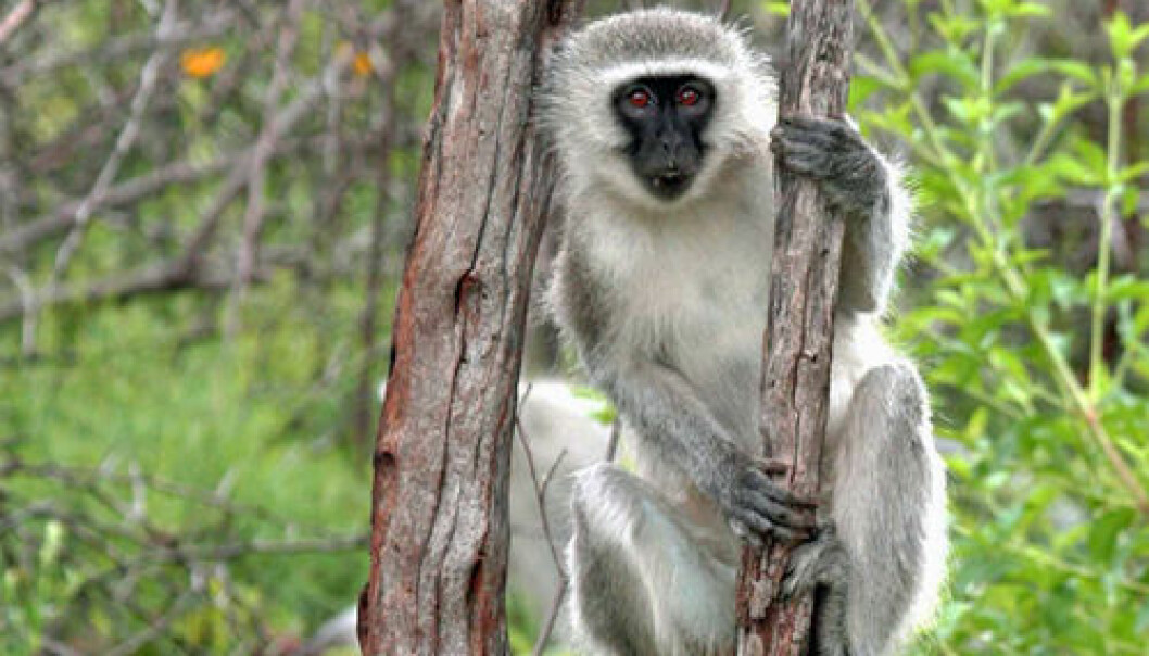 "Verveteape. Fretau et. al.: ""Vervet Monkeys Solve a..."" i Current Biology 2013"