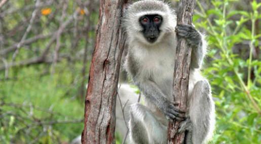 Alfa-aper lærte å vente på tur