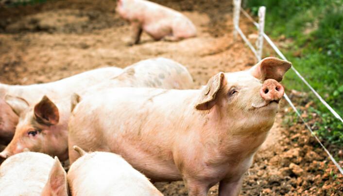Forskere vil bidra til at vi i fremtiden får gladere griser. De fleste får riktignok ikke gå ute i det fri, slik som disse.