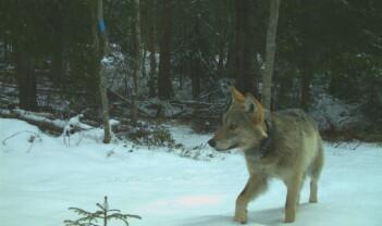 Opplevelser av ulv
