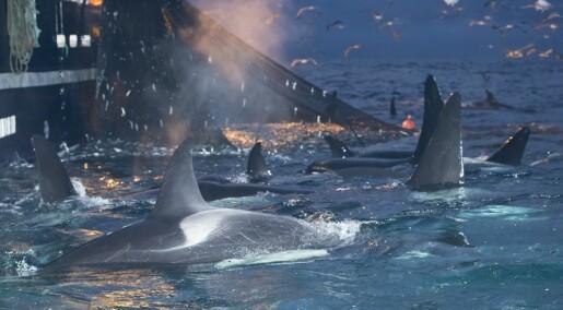 Utsetter vi hvalen for stadig nye farer langs norskekysten?