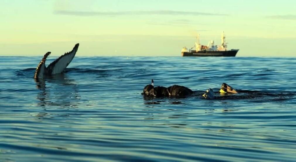Professor Audun Rikardsen snorkler sammen med knøhval i Barenshavet etter at han og kollegaene var ferdig med satelittmerkingen.