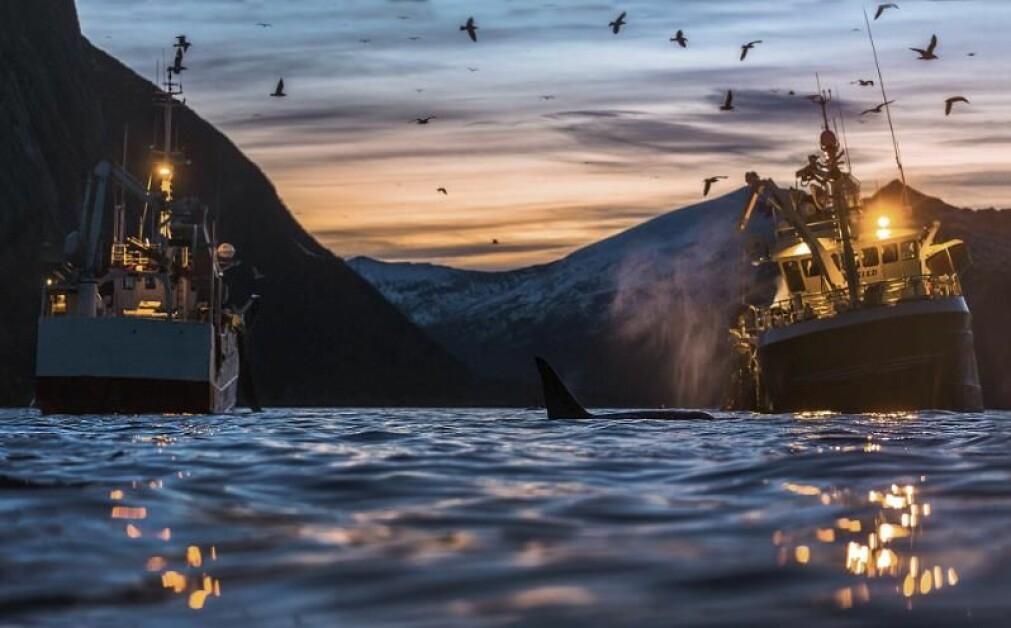 Det kan også få konsekvenser for fisket dersom antall hval øker.