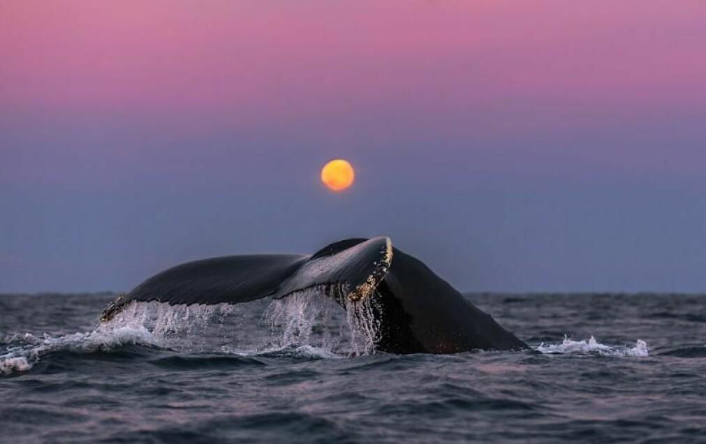 Det er viktig at man ser på den samlede menneskelige påvirkningen på hval i Arktis.