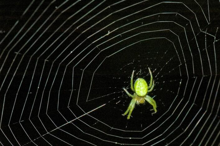 Edderkopper produserer ikke bare nett for å fange byttedyr. De bruker det også som sikkerhetslinje når det er en fare for å falle, eller hvis de vil kaste seg ut i luften. Dessuten spinner noen edderkopper nett over ting de vil oppbevare – som egg og mat. (Foto: Bonsak Hammeraas)