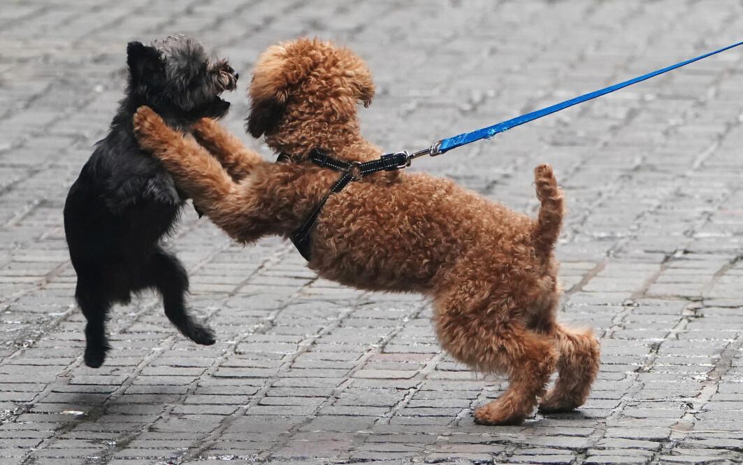 Forskerne har studert hundelek. Hundene leker mer når eieren ser på.