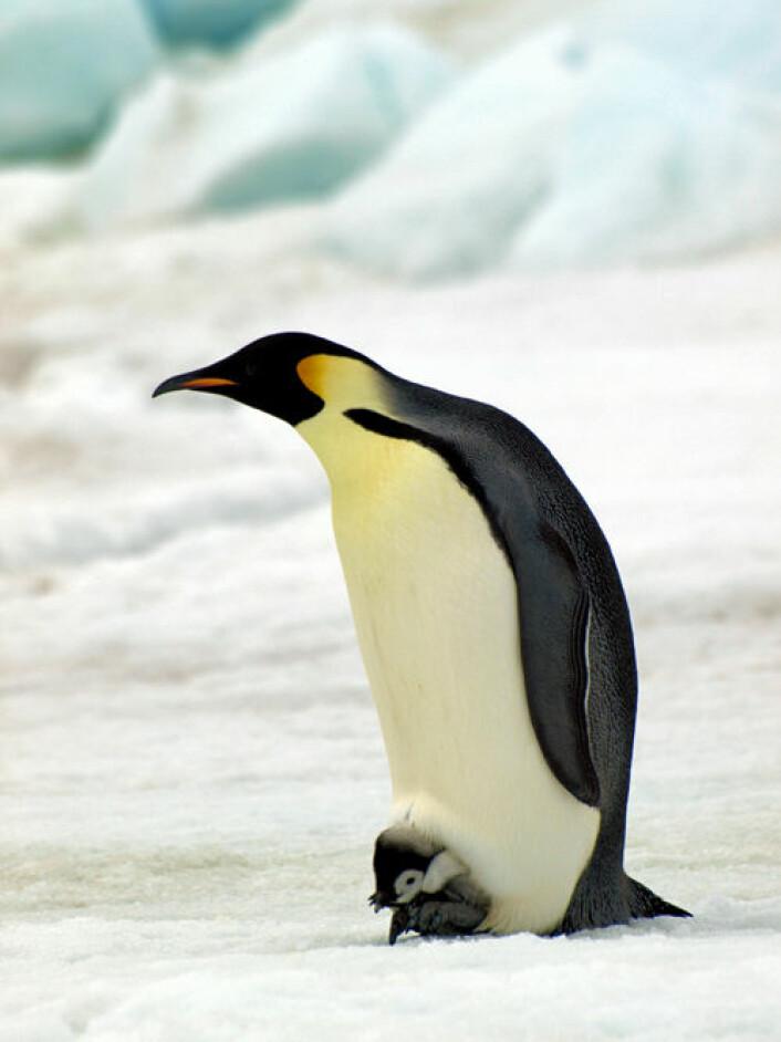 Det kan være langt flere keiserpingviner i Antarktis enn tidligere antatt. Bildet viser en voksen keiserpingvin med unge. (Foto: British Antarctic Survey)