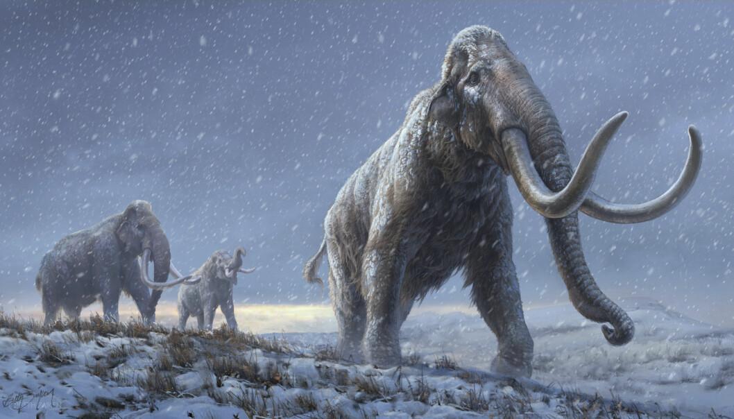 Illustrasjon av steppemammuter, forgjengeren til ullhåret mammut. Rekonstruksjonen er basert på ny genetisk informasjon.
