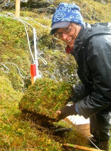 Professor Vigdis Vandvik ledet dette eksperimentet på Vestlandet, hvor temperatur og nedbør varierer mye fra sted til sted. I et område noen mil rundt Sognefjorden er det mulig å finne nedbørsvariasjoner fra 500 millimeter til 3500 millimeter årlig. Og gjennomsnittlig sommertemperatur kan variere fra 4 grader til 15 grader. (Foto: Kari Klanderud)