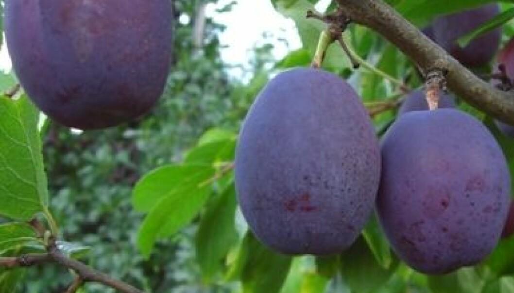 Av dei fruktslaga ein dyrkar i Norge, er plommer det produktet ein mest tydeleg ser at forbrukaren føretrekke norske varer framfor importert. (Foto: Eivind Vangdal)