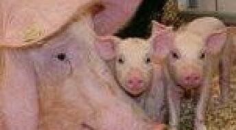 Flere dør i store grisekull