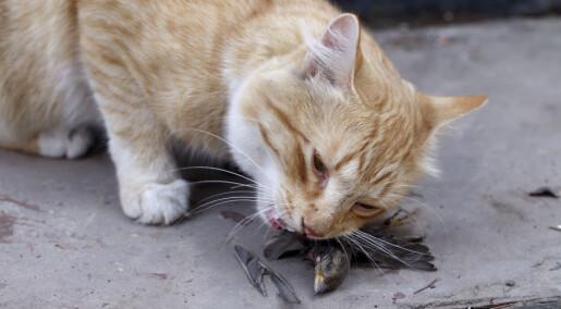 Mer kjøtt i maten gir katter mindre lyst til å drepe