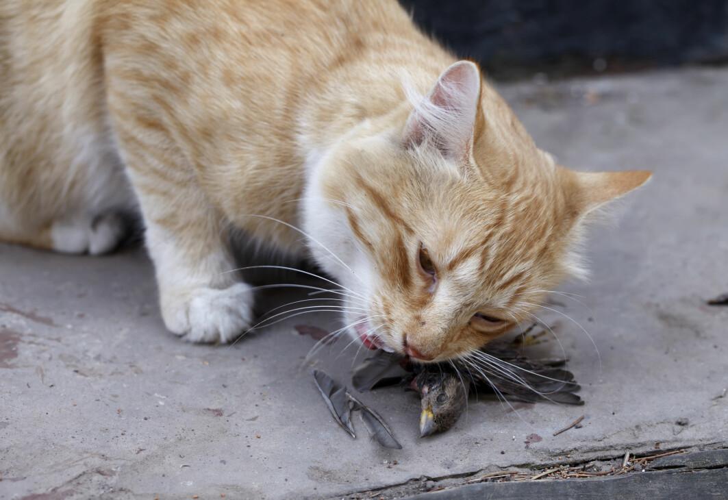 Hvordan kan vi hindre at katter dreper fugler i Norge? Engelske forskere har funnet en mulig løsning.