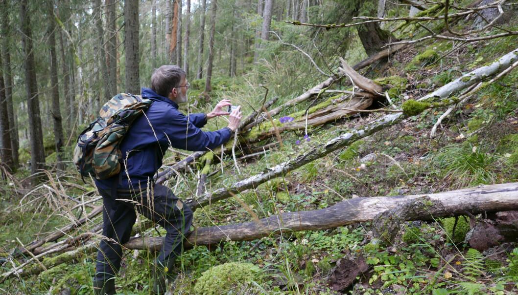 I det aktuelle nasjonalparkområdet har forskerne funnet små lommer med arter knyttet til gammel naturskog, som etter hvert vil kunne spre seg når det blir mer gammel skog. Her er forsker Egil Bendiksen, som har kartlagt naturverdiene i området.