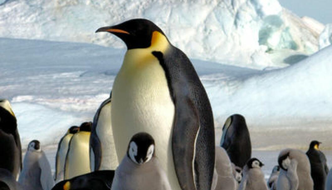 Keiserpingviner i Antarktis. British Antarctic Survey